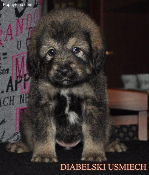 Tibetan Mastiff... I will have one!