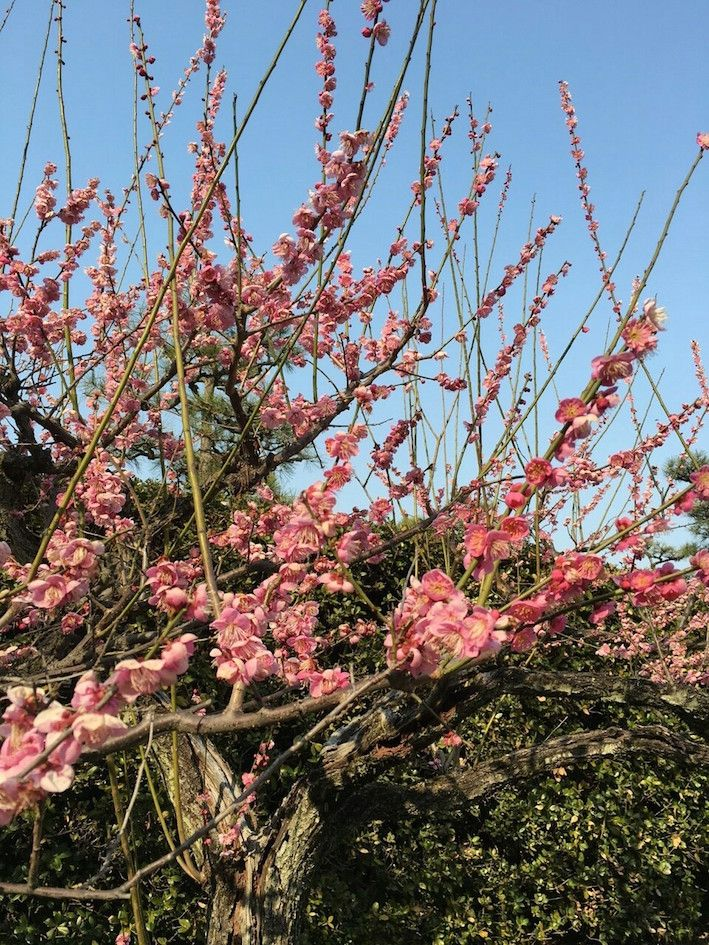 梅の花と花嫁さん_6195.jpg