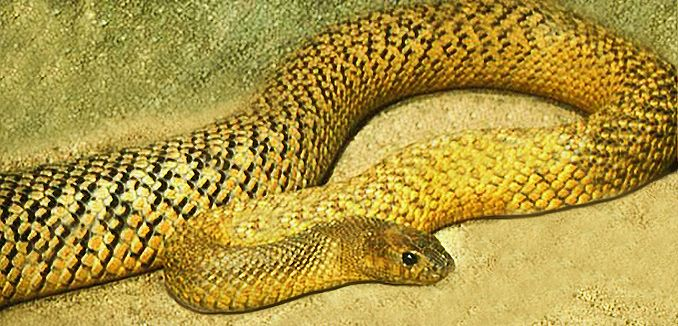 Taipan - Wikipedia, the free encyclopedia