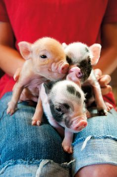 Three little pigs.  #piglets #animals #country