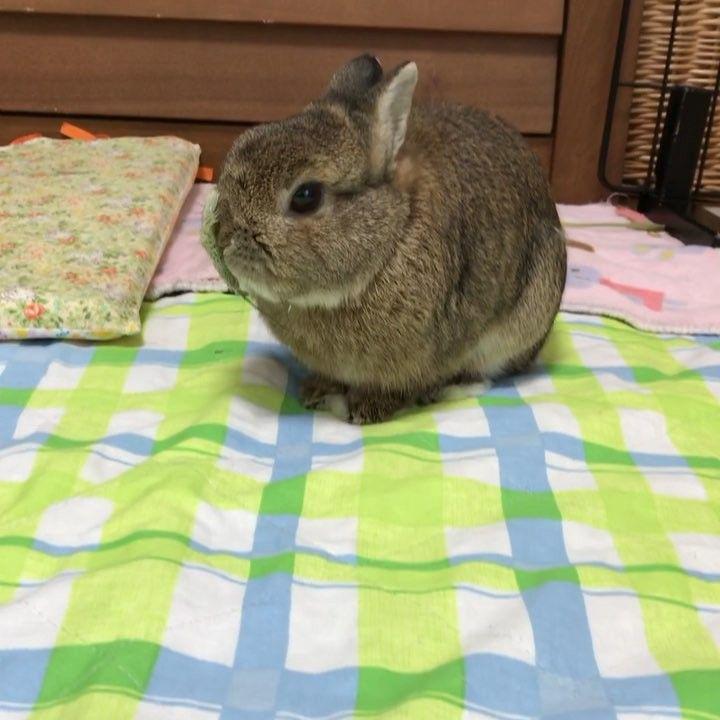 Miyusun1208 Instagram 動画です 鼻 先に穂がぴったりくっ付くぴょんたくん なんでそうなるかな つい先日 穂先はほとんど食べません と書いたところですが 穂先を食べながらケージから出て来ました よく見ると真ん中辺りに食べ