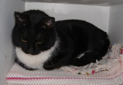 Pretty Chelsey girl was brought into us as a stray. But we know she had to have had some loving in her life....she's just too sweet. This beautiful Tuxedo is hoping that YOUR house will be where she takes up permanent residency. Come to our shelter and meet Chelsey, today.