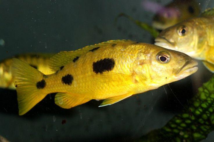 ... Malawi Cichlids on Pinterest Cichlids, African cichlids and Malawi