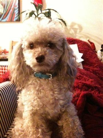Cafe au lait toy poodle. Barley | Dogs, Dog grooming ...