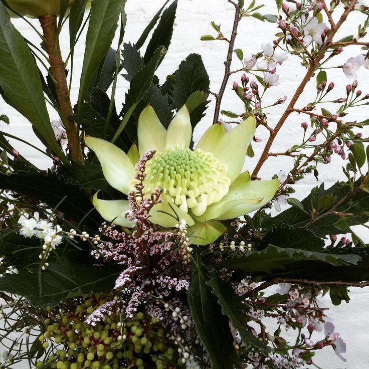Bloodwood Botanica | white waratah  Flower explosion