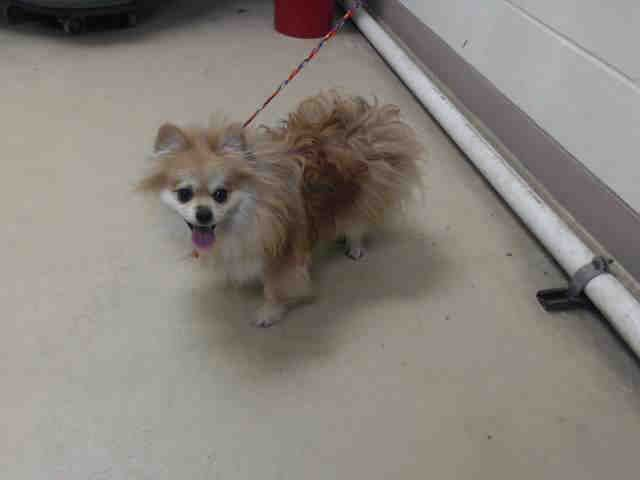 5/17/16 SL!!   05/09/16--HOUSTON- -EXTREMELY HIGH KILL FACILITY - TANZY - ID#A458642 My name is TANZY I am a spayed female, brown and white Pomeranian. The shelter staff think I am about 8 years old. I have been at the shelter since May 09, 2016. Harris County Public Health and Environmental Services.