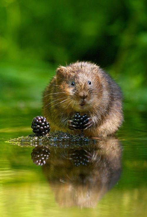 Water Vole with Blackberry | Amazing Pictures - Amazing Pictures, Images, Photography from Travels All Aronud the World
