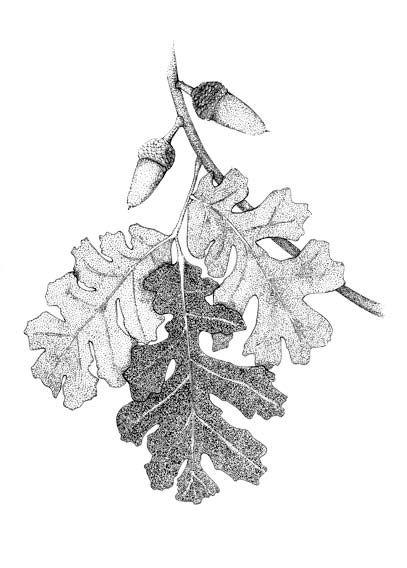 leaves-and-acorn.jpg (407×568)