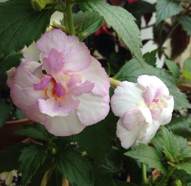Achimenes 'Queen of Lace'