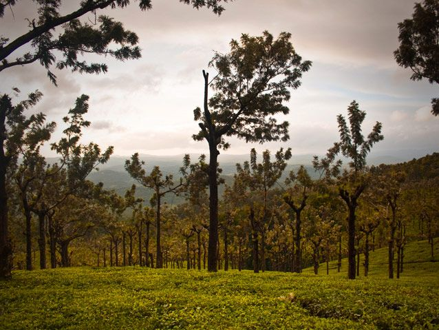 The lovely Silver oaks in OOTY