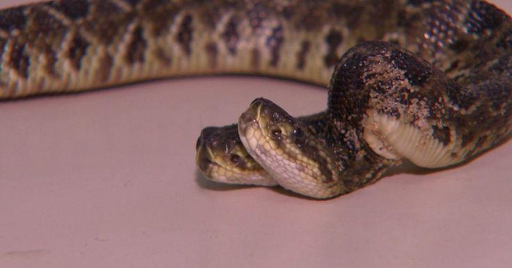 Cobra nasce com duas cabeças em Zoológico de Cascavel; veja o vídeo