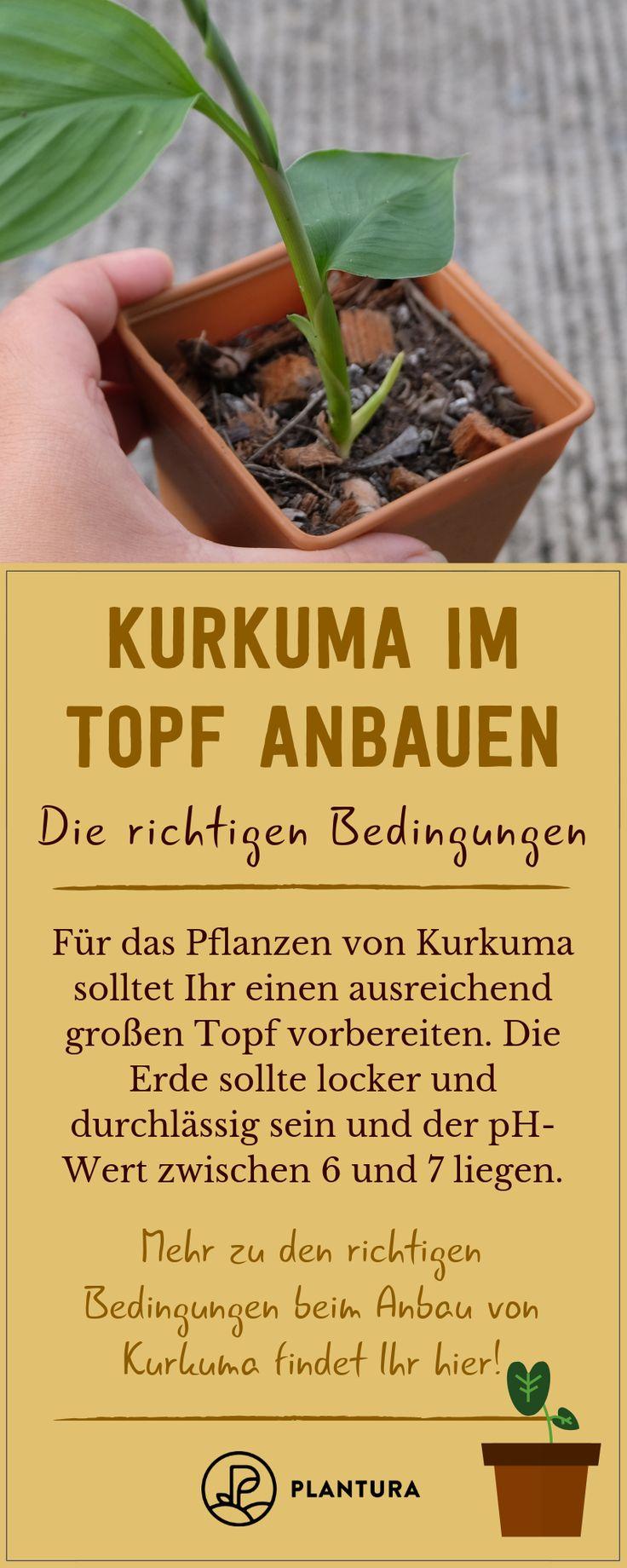 Kurkuma in einem Topf anbauen: 5 Tipps für eine erfolgreiche Ernte