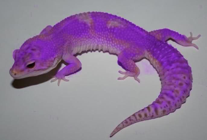 Leopard Gecko Colors  ...