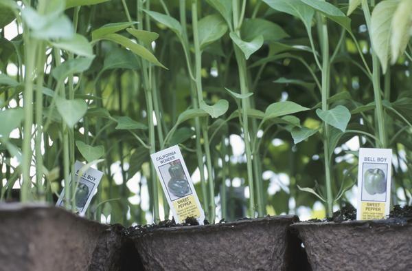 Bell Pepper Planting Guide