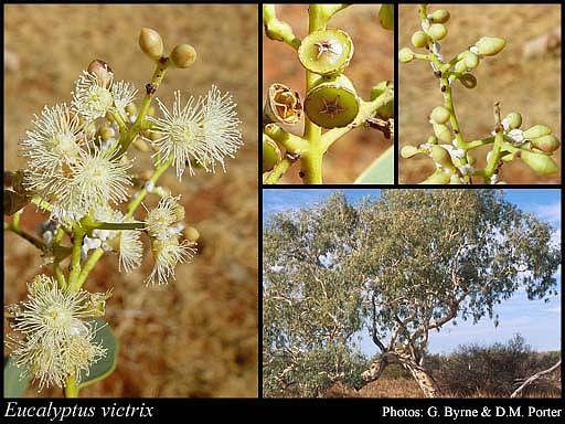Eucalyptus victrix 5-8m