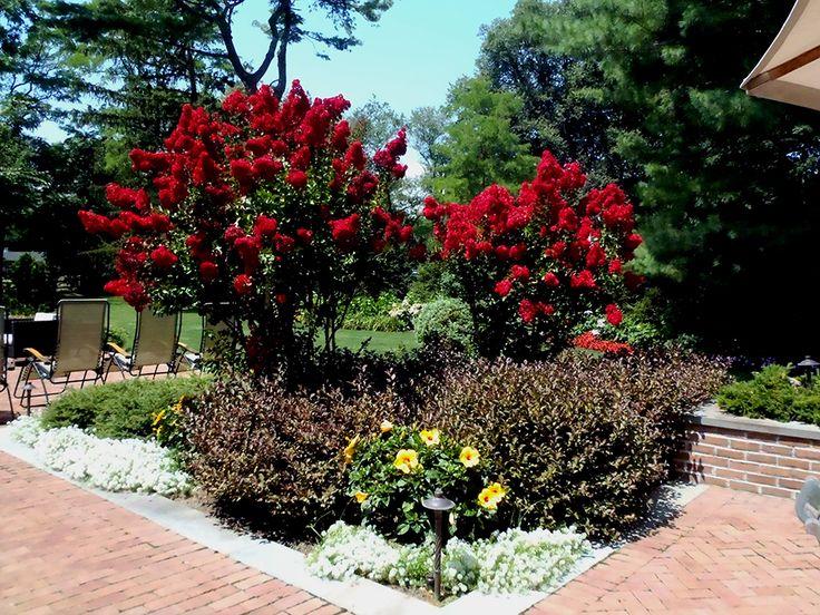 Crape Myrtle Red Rocket Gardening With Crape Myrtle Pinterest Gardens