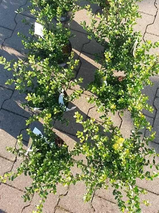 10 besten neue heckenpflanzen kirschlorbeer prunus genolia und ilex crenata dark green bilder. Black Bedroom Furniture Sets. Home Design Ideas