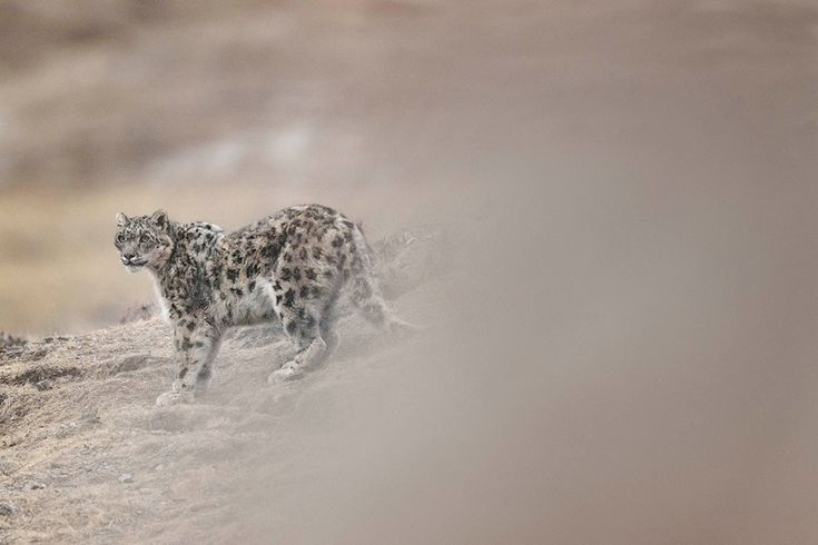Snow Leopard in Tibet | Vincent Munier