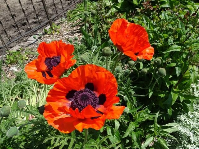 Oriental Poppy Mix Poppy Seeds And Plants Perennnial Flowers At Burpee Com In 2020 Poppies Flowers Large Flowers