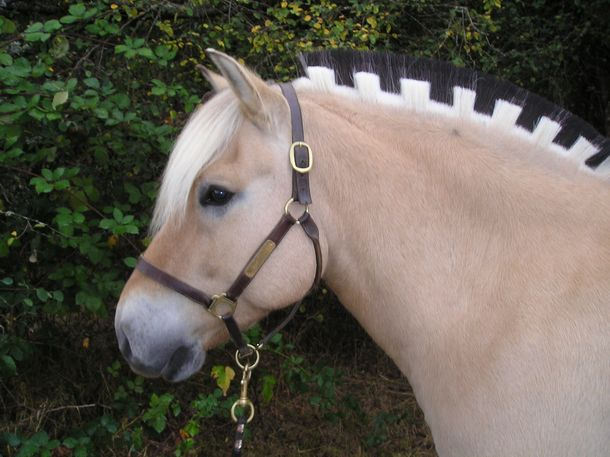 Image result for fjord horse
