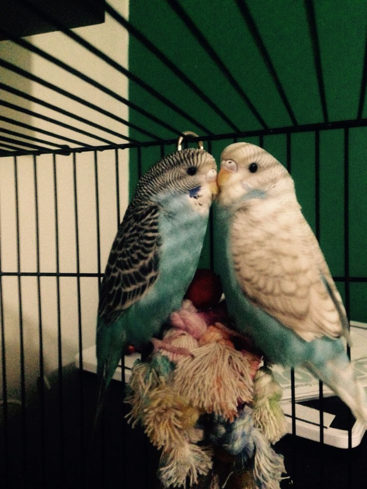 Baby Budgie Sisters