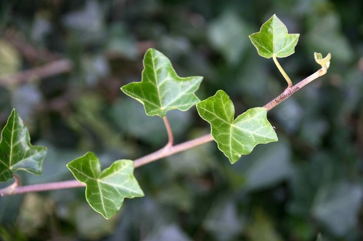 glish ivy is the ideal medicinal plant for bronchitis.It helps to loose phlegm in the lugs and relieve coughs.