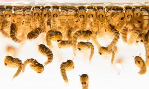 Oxitec mosquito larvae are shown. Each male mosquito released by Oxitec will…
