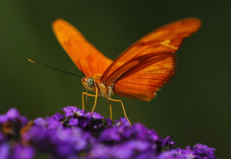 An Orange Julia butterfly lands on a flower at the San Diego Zoo Safari Park. REUTERS/Mike Blake