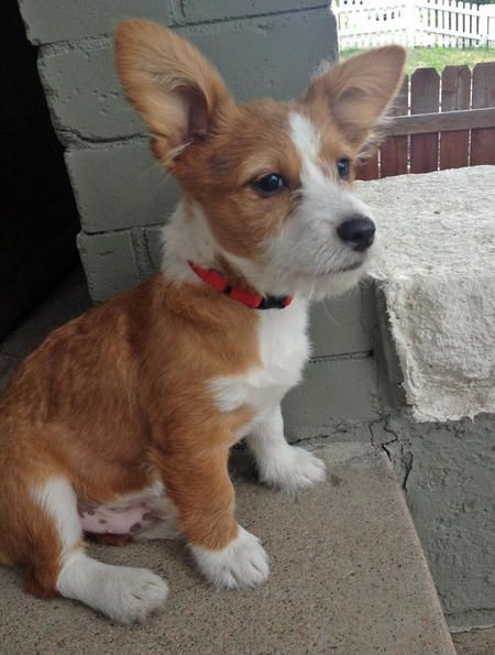 Louie the Corgi Mix -- Dog Breed: Maltese / Pembroke Welsh Corgi