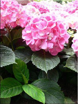Гортензия, или Гидрангея (Hydrangea). Описание, виды, уход за гортензией. Полезные свойства гортензии. Фото гортензии