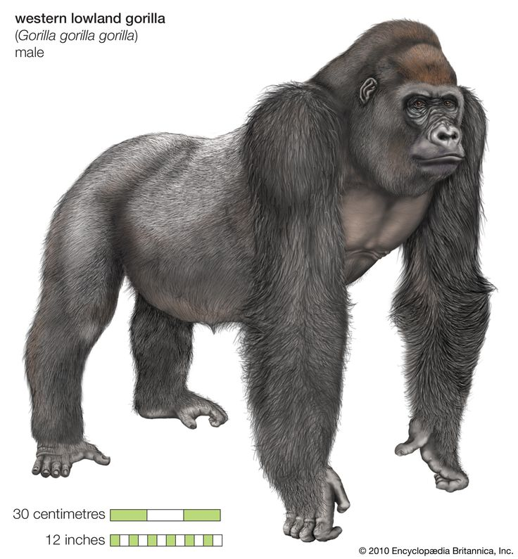 western lowland gorilla essay Csomos, 2008) habitat: the habitat of the western lowland gorilla is made up of primarily rainforests, swamp forest, thickets, forest edges, and clearings.