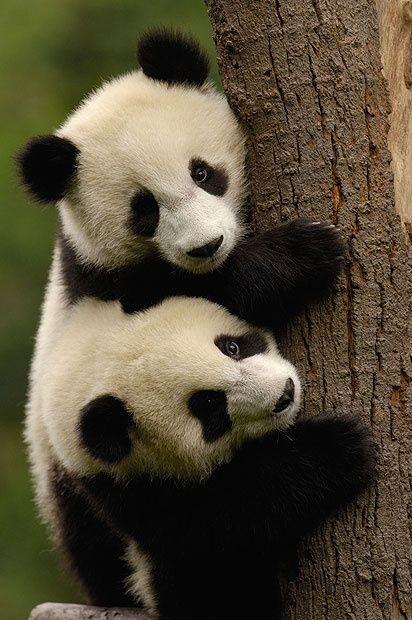Two Panda Cub Siblings