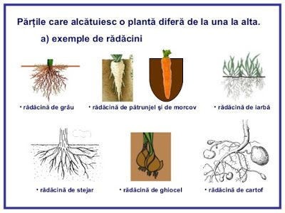 Descopera plantele: Radacina Plantelor - Partea I