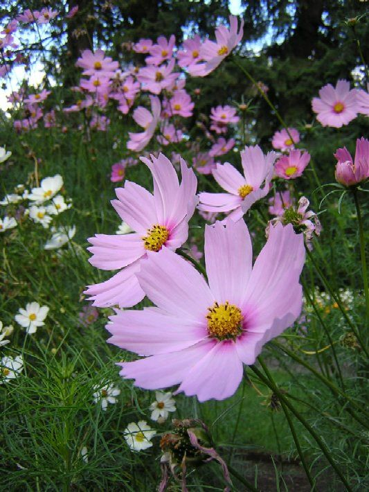 cosmo flower pictures | More Flower Pictures