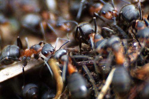 Adiós a la plaga de hormigas