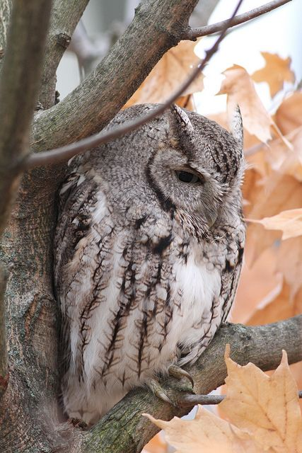 Eastern Screech-Owl - we saw this beauty during spring migration :D awesome !! Petit-Duc .