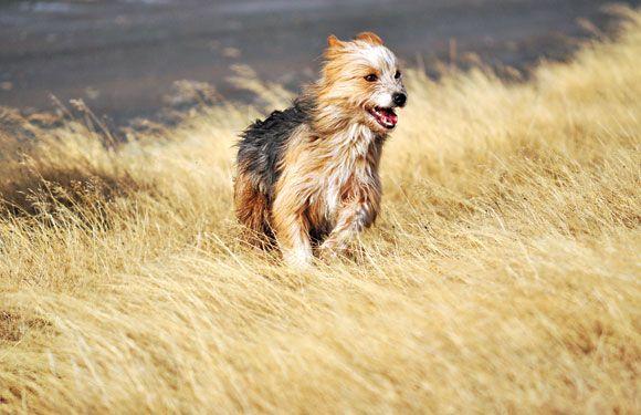 Características físicas del perro ovejero magallánico