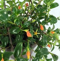 Goldfish Plant care, profile and picture of this amazing house plant. Find out how to get the most blooms from Goldfish Plants. How and when to prune, water and fertilize.