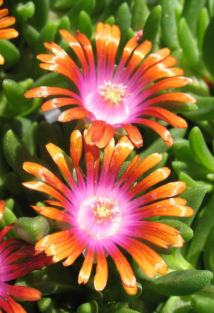 Ice Plant 'Fire Spinner'  This plant loves the heat. Great for rock gardens. Perennial. Ground cover.