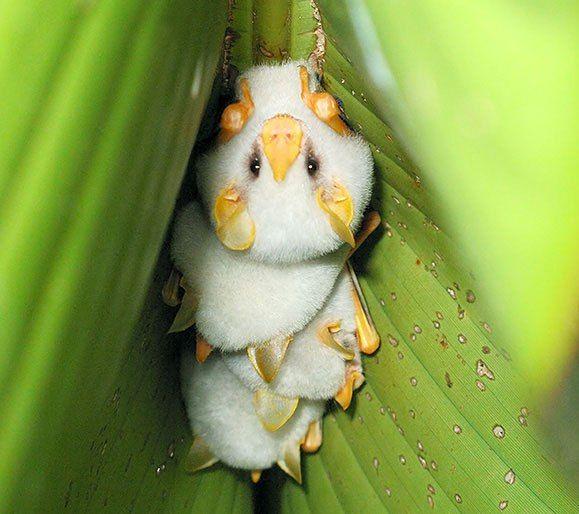 The 'honduran white bat' has a snow white fur coat, a ...