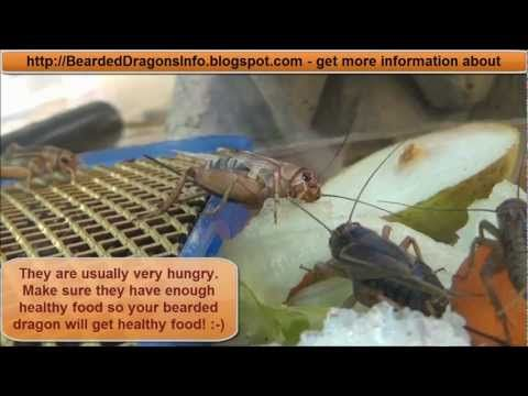 Cricket Breeding - The whole life cycle of crickets