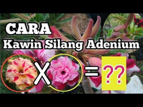 Cara Penyerbukan Bunga Adenium Kawin Silang Bunga Adenium Youtube Bunga Perkawinan Ide Berkebun
