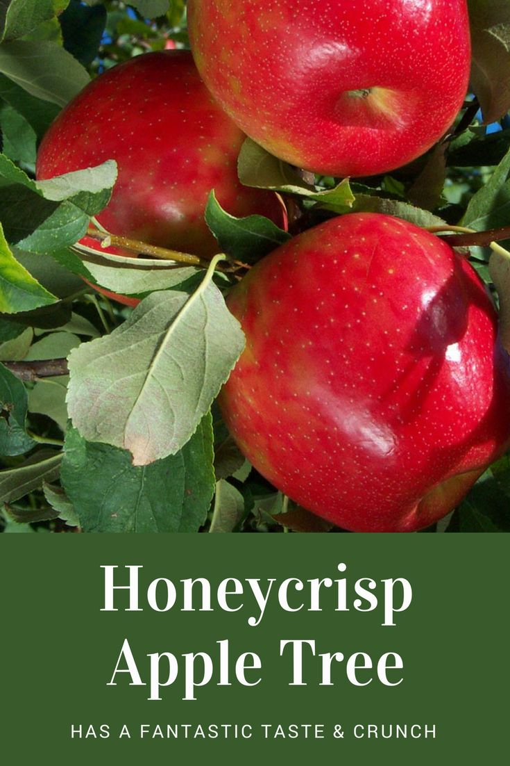 These apples are SO tasty, & I love its crunchiness! The Honeycrisp apple has become increasingly popular in American grocery stores over the past few years, primarily due to its explosive crisp texture & well-balanced sweet/tart flavor. I would love to have a Honeycrisp apple tree! #ad #garden #gardening #appletree #apples #honeycrisp #orchard