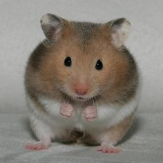 Syrian Teddy Bear Hamster – The Syrian hamster is just one of the most charming small pets that numerous American families like. These hamsters are additionally widely called Golden Hamsters or Teddy Bear Hamsters (the long-haired selection) as well as are most likely the most prominent hamster varieties maintained as pet dogs. As a result of their accommodating nature, it is extremely easy to handle these fantastic animals. Also kids could conveniently handle these animals with no headache…
