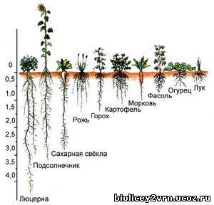 Сайт учителей биологии МБОУ Лицей № 2 города Воронежа - Виды корней и типы корневых систем