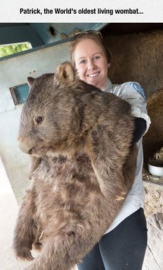 I have never seen a real living breathing wombat before, and I never imagined that they could grow up to be this big.