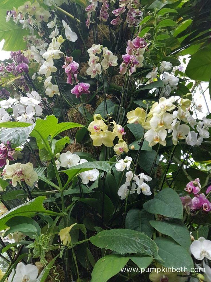 Kew Orchid Extravaganza 2017 - Pumpkin Beth