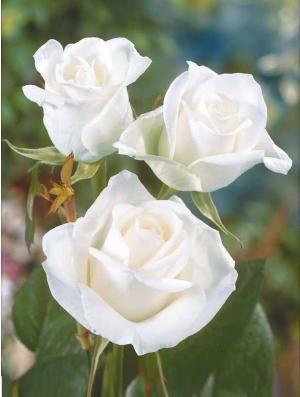 Rosier 'white symphony' en ligne (rosa 'white symphony') - Willemse