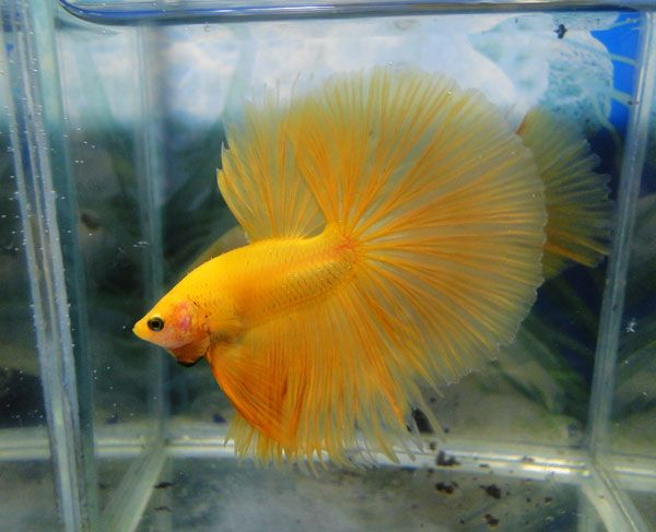 98 best images about beta fish on pinterest fresh water for Best water for betta fish
