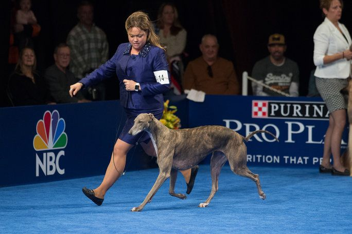 The National Dog Show is a family tradition, known for being the event shown right after the Thanksgiving Day parade on NBC. Find out all about this year's Best in Show winner, Gia the Greyhound.